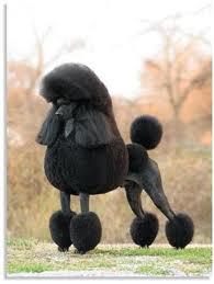 balck poodle